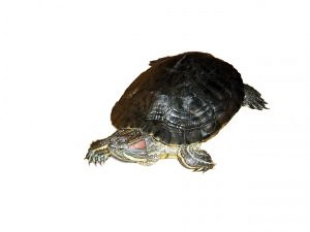 Turtle idefiks Reptiles and Amphibians about Teenage Mutant Ninja Turtles Pets