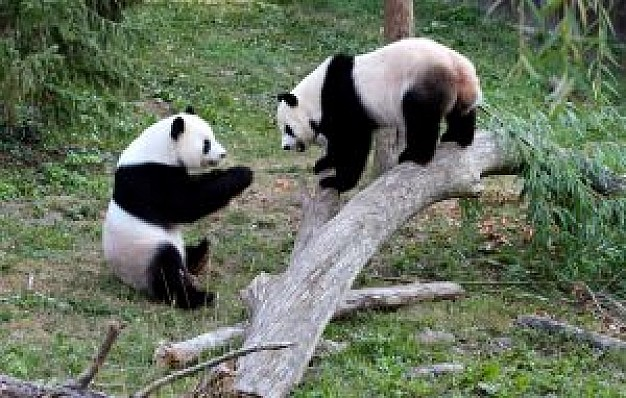 two pandas at play in zoo