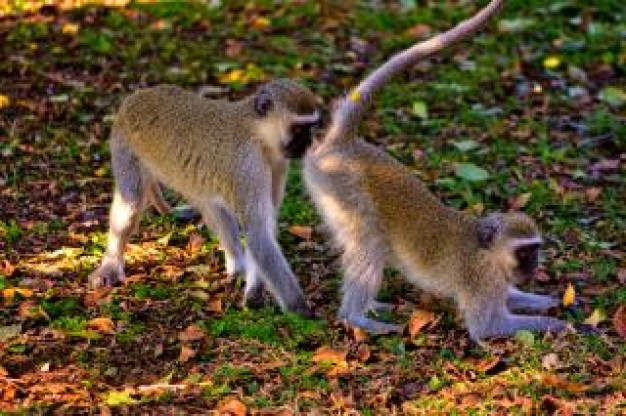 vervet monkeys vervet playing forest floor under sunlight