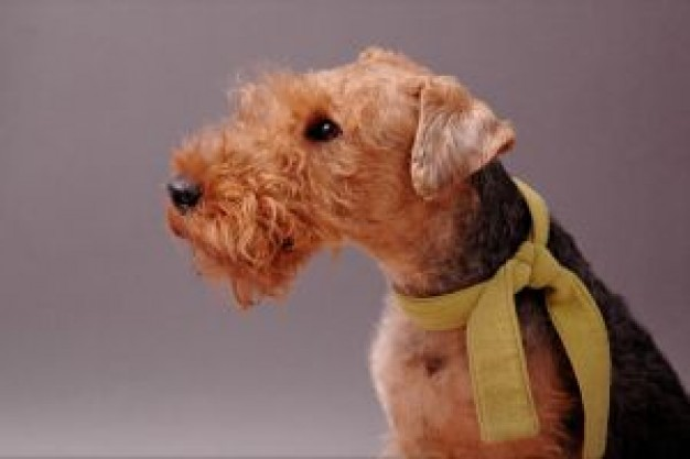 Welsh Terrier Westminster Kennel Club Dog Show terrier guus about Dog Pets