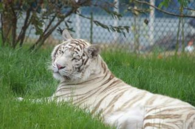 white Ireland tiger rare about zoo photo Indochina