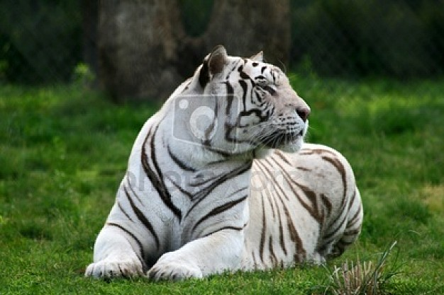 white tiger lying at grass over pink tree brown