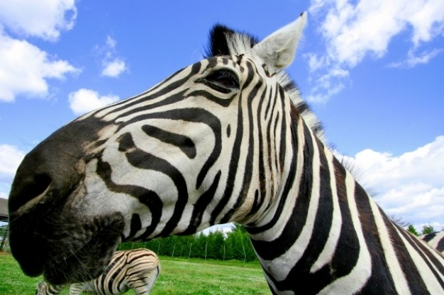 wide angle zebra in side view with blue sky background