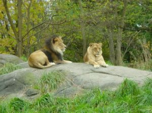wildlife lions resting at rock in forest