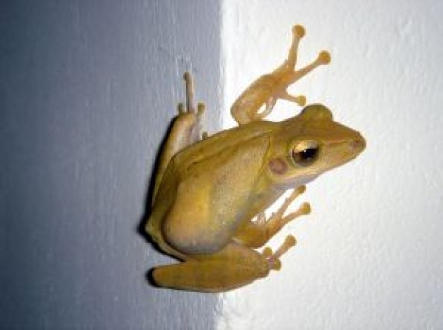 yellow Frog Reptiles and Amphibians about Frogs and Toads Pets