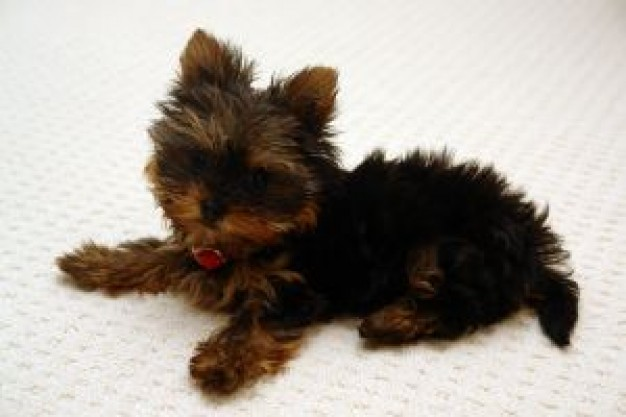 Yorkshire Terrier yorky Dog lying on ground about Pets Recreation Loki Yorkshire and the Humber New
