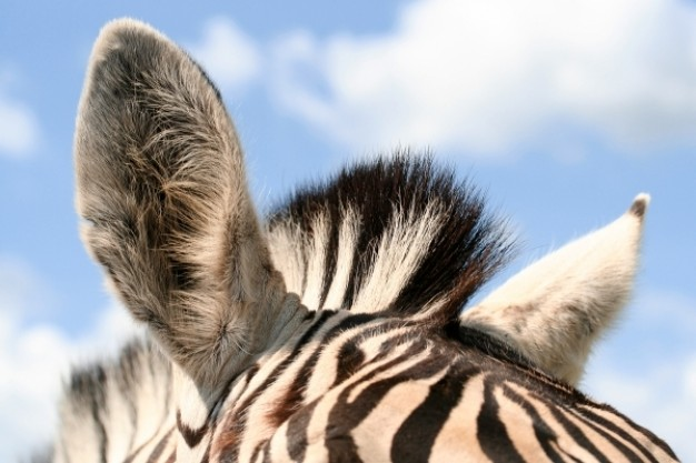 zebra ears close-up with blue sky background
