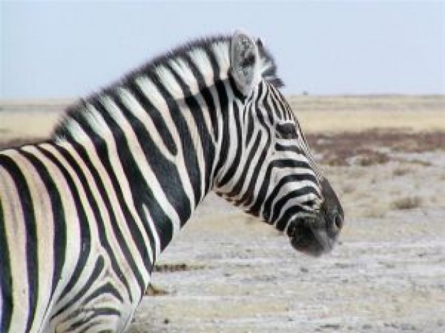 Zebra Etosha National Park side view about Namibia Southern Africa Anthrax Photography