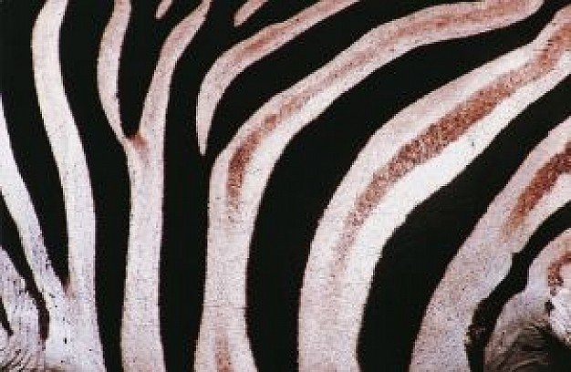 zebra shell pattern in black and white