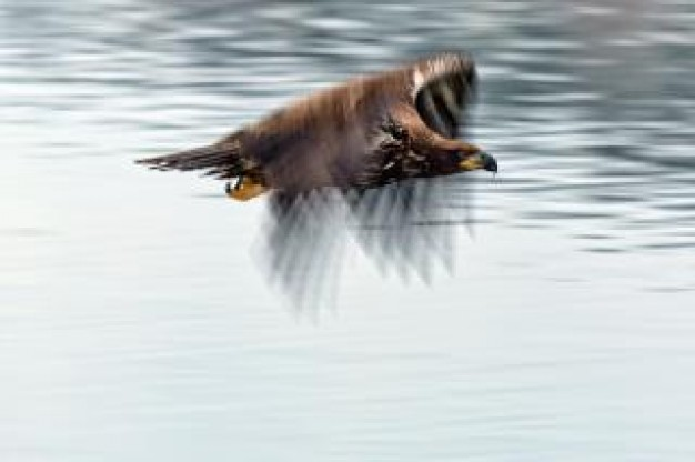 bald eagle animal flying over water surface high speed