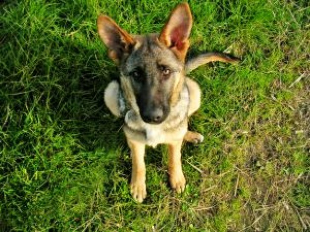 young german shepherd dog sitting on the grass