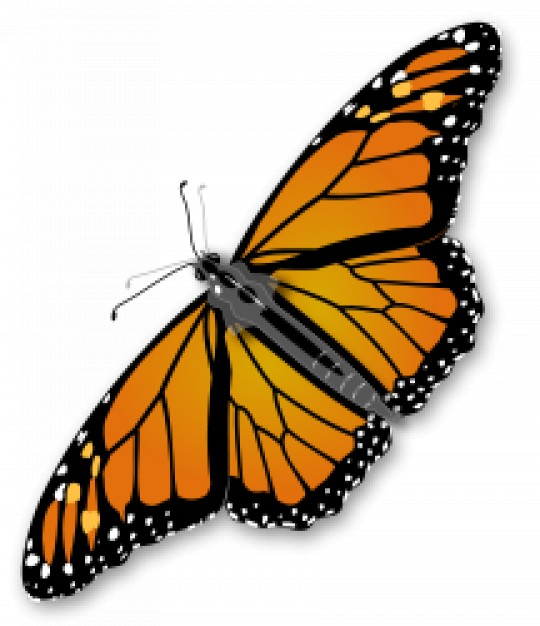 monarch butterfly with beautiful wings in top view