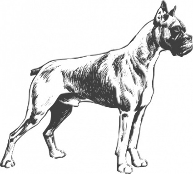boxer dog at side view clip art with White background