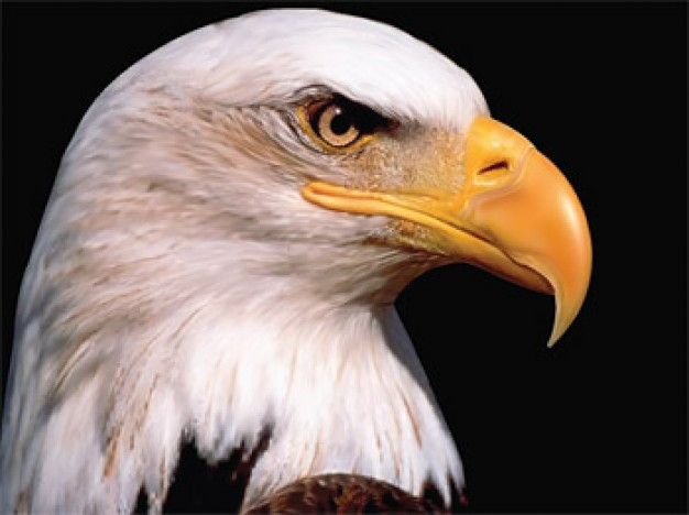 realistic Eagle side view Vector drawing AI material